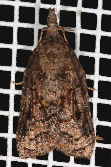 Platynota rostrana - Omnivorous Platynota Moth - Platynota - male