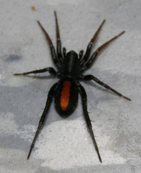 Red Stripe Spider - Castianeira crocata