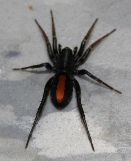 Red Stripe Spider - Castianeira crocata
