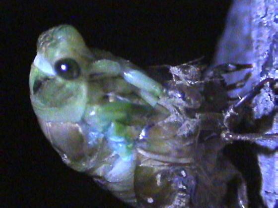 Emerging cicada - Neotibicen tibicen