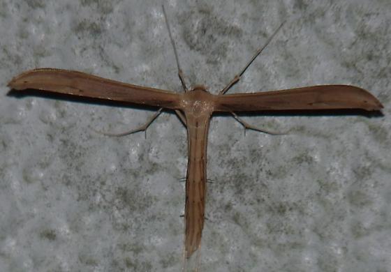 Plume Moth 40mm wingspan - Hellinsia balanotes
