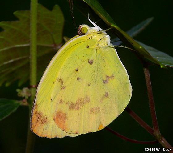 Dina Yellow - Pyrisitia dina
