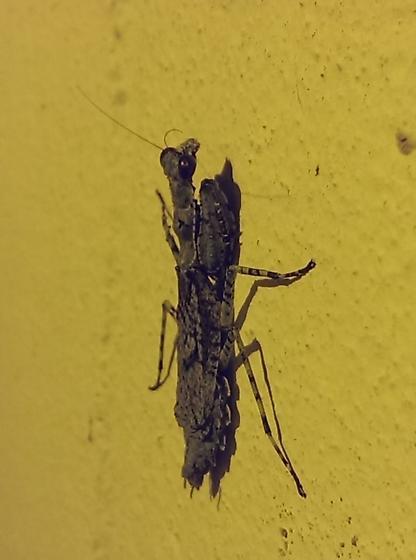 Unidentified North Central Florida Mantid - Gonatista grisea - female