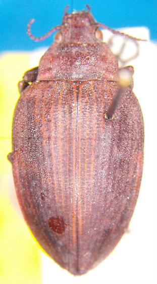 Amphizoa striata (Van Dyke) - Amphizoa striata