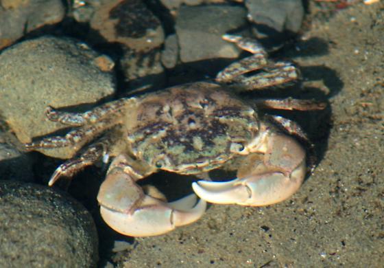 hairy shore crab jpg 1200x900