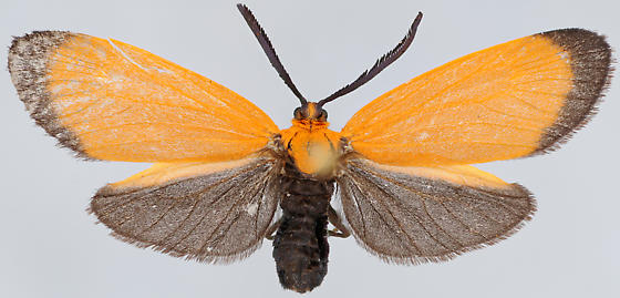 Neoalbertia constans, female dorsal - Neoalbertia constans - female