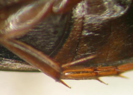 Beetle - Copelatus chevrolati