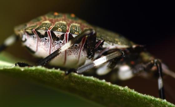 4th instar brown marmorated stink bug - Halyomorpha halys