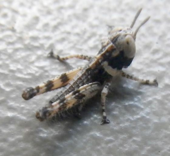 Acrididae side view