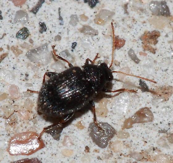 Beetle - Epitrix fuscula