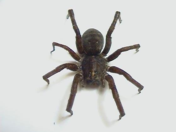 Tigrosa grandis - female
