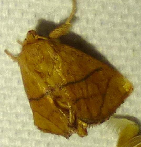 Apoda y-inversum- Inverted Y Slug Moth - Apoda y-inversum