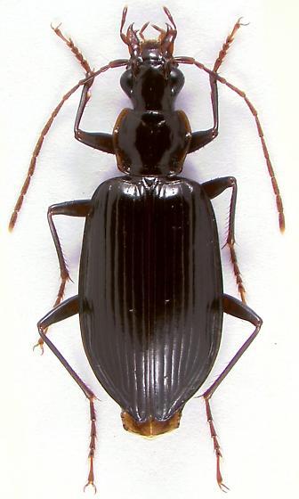 Platynus (s.str.) tenuicollis  (LeConte) - Platynus tenuicollis
