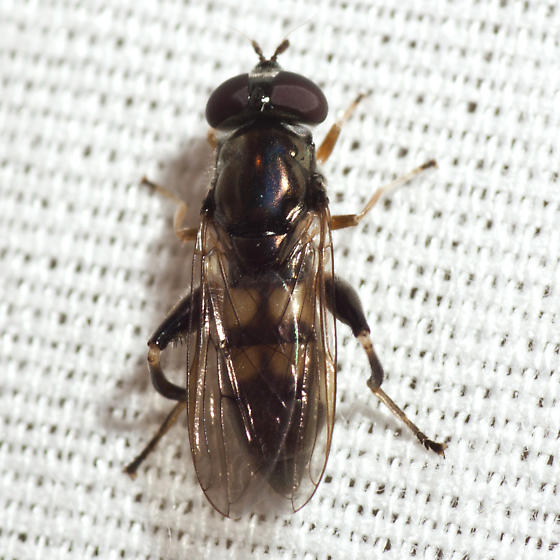 Syrphid Fly? - female