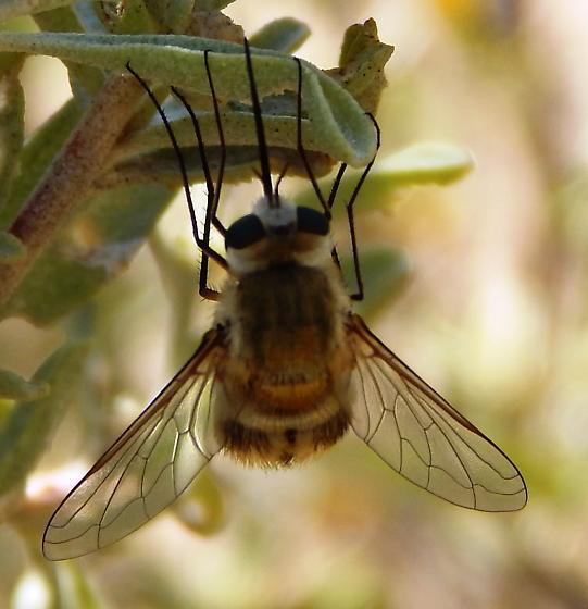 Bombyliidae - Heterostylum