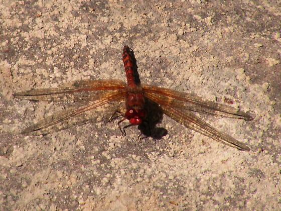 Red Rock Skimmer along lower Sespe Creek - Paltothemis lineatipes - male