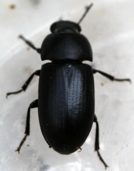Little Beetle - Opatroides punctulatus