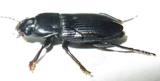 Black Ground Beetle - Anisodactylus californicus - male