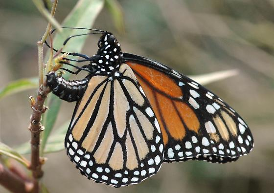Monarch ovipositing in December - Danaus plexippus - female