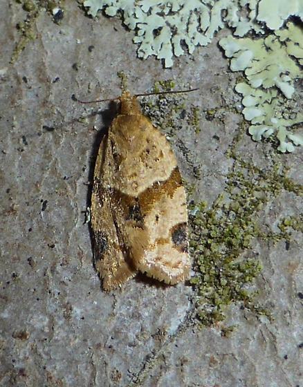 Tortix Moth - Clepsis peritana