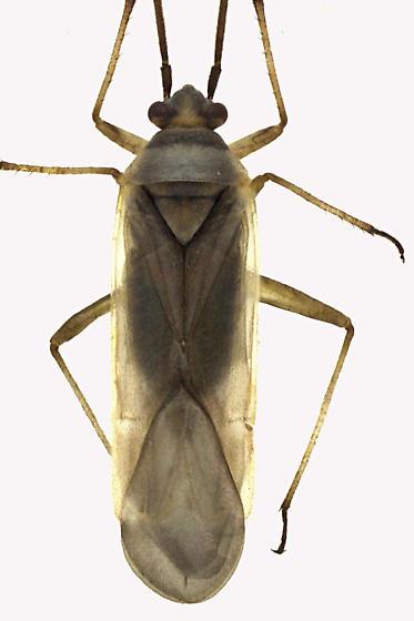 Plant bug - Lopus decolor
