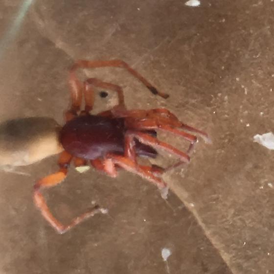 Spider or Termite Queen  - Dysdera crocata