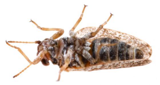 Aphalaridae - Craspedolepta suaedae
