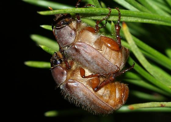 Hairy Phyllophaga feasting on pine needles - Phyllophaga tarsalis