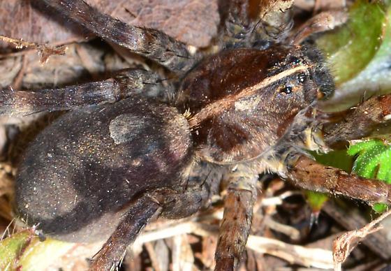 Carolina Wolf Spider? - Tigrosa