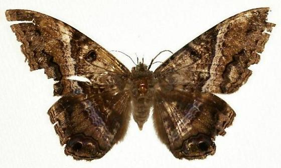 Black Witch Moth - BWM - Ascalapha odorata - female