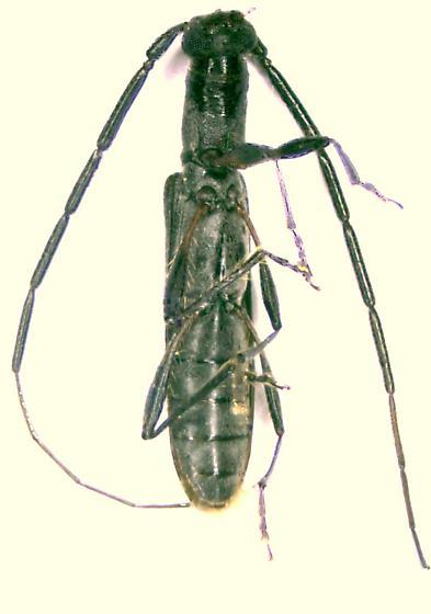 Heterachthes ebenus - male