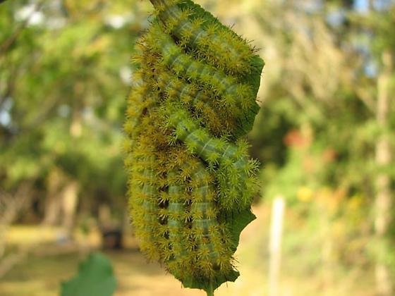 Catapillars on a Plum Leaf - Automeris io
