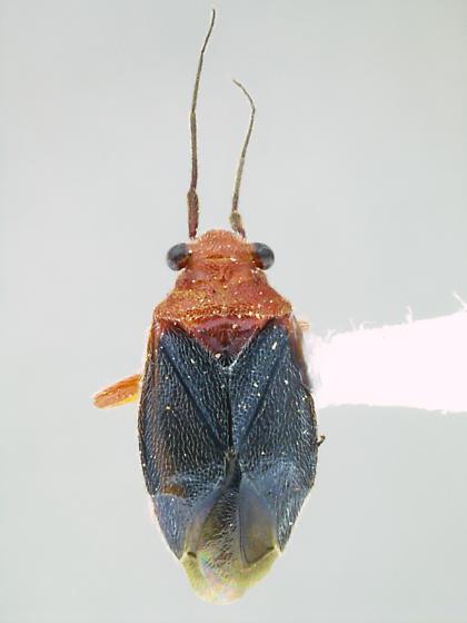 Halticotoma andrei - female