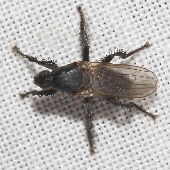 Coleopidae - Coelopa vanduzeei