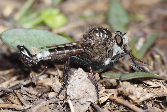 Robber Fly - Efferia pogonias - male