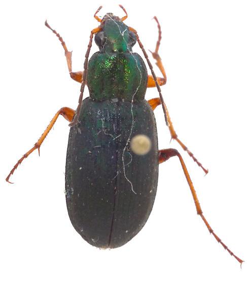 Chlaenius nebraskensis? - Chlaenius nebraskensis - female