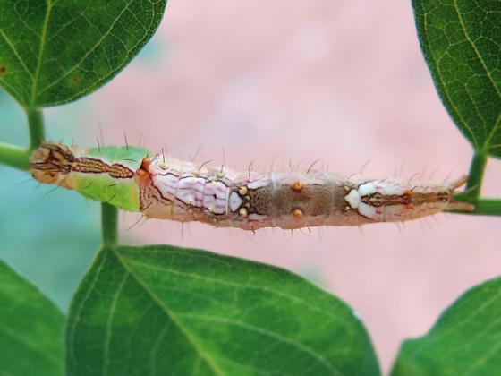 Morning-glory Prominent caterpillar - Schizura ipomaeae