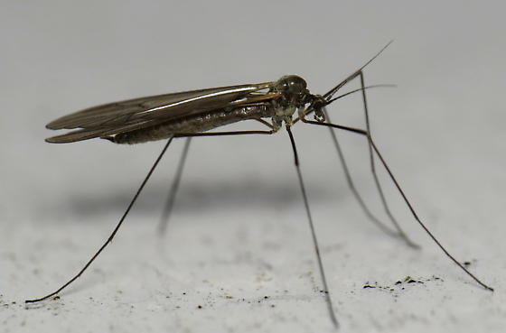 Winter crane fly - Trichocera - female