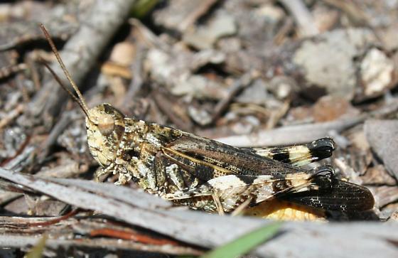 Oedipodinae - Chortophaga viridifasciata