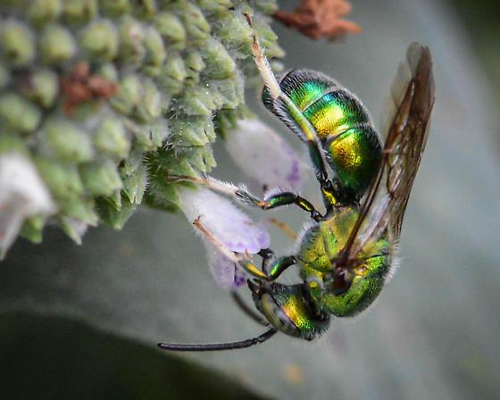 Augochlorini, Green Metallic Sweat Bee - Augochloropsis metallica - male