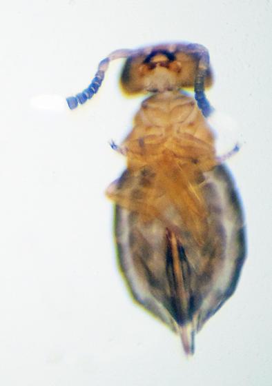 Unknown - Neodusmetia sangwani