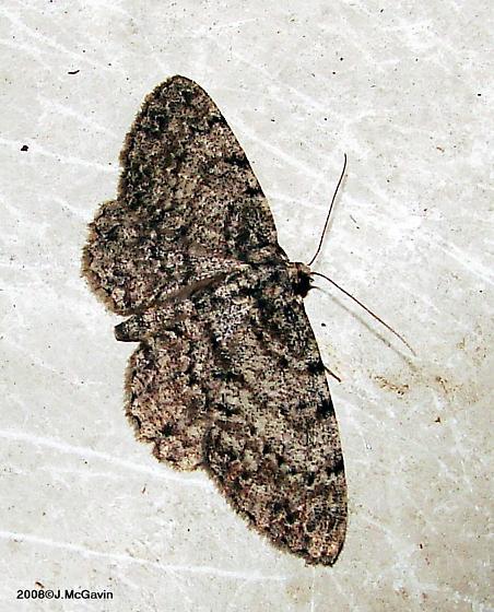 Moth june - Protoboarmia porcelaria - female