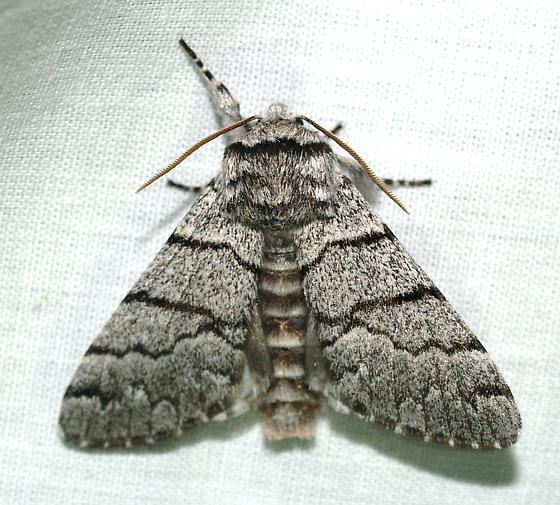 Moth - Panthea greyi