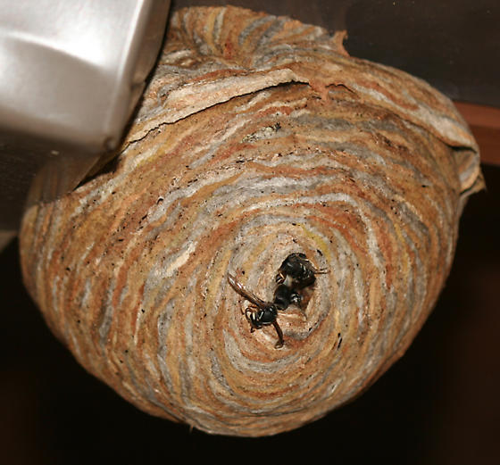 Baldfaced Hornet's nest - Dolichovespula maculata