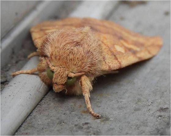 What Species is this? (Binomial name please) - Enargia infumata