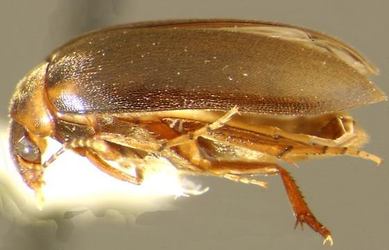 Nycteus infumatus (LeConte) - Nycteus infumatus