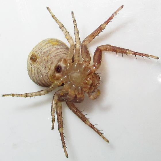 Xysticus fervidus - female