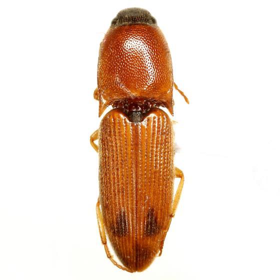 Aeolus subornatus (Schaeffer) - Aeolus subornatus