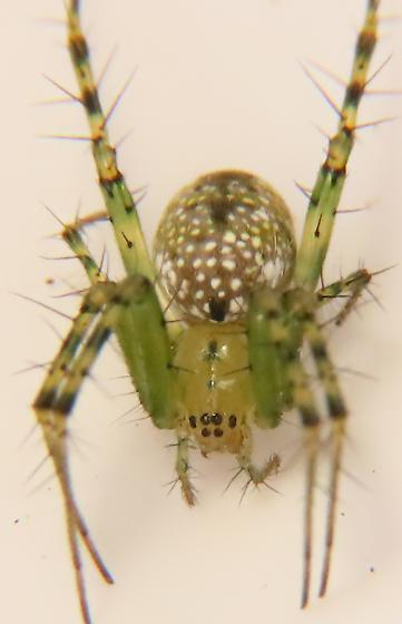 Mangora maculata, Greenlegged orbweaver - Mangora maculata