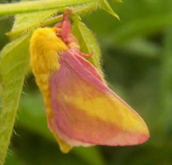 Moth 073016mtma - Dryocampa rubicunda